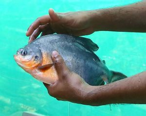 Red Bellied Nutter Pacu in Farm
