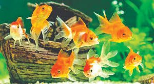 Gold Fish in Onyx Aqua Farm
