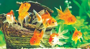Gold Fish in Onyx Aqua Farm