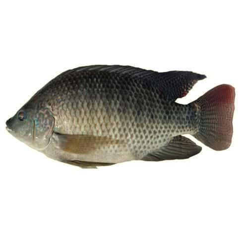 Tilapia Organic Farm Fish in Onyx aqua Farn