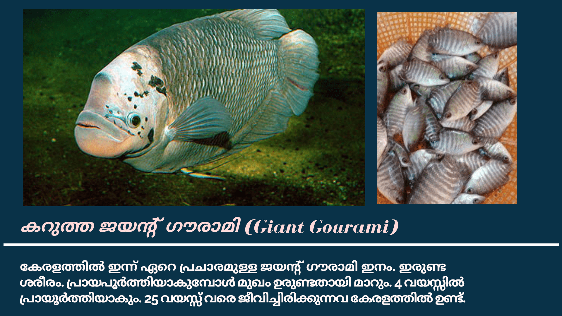 Giant Gourami Fish Farming in Kerala, Malayalam 2020