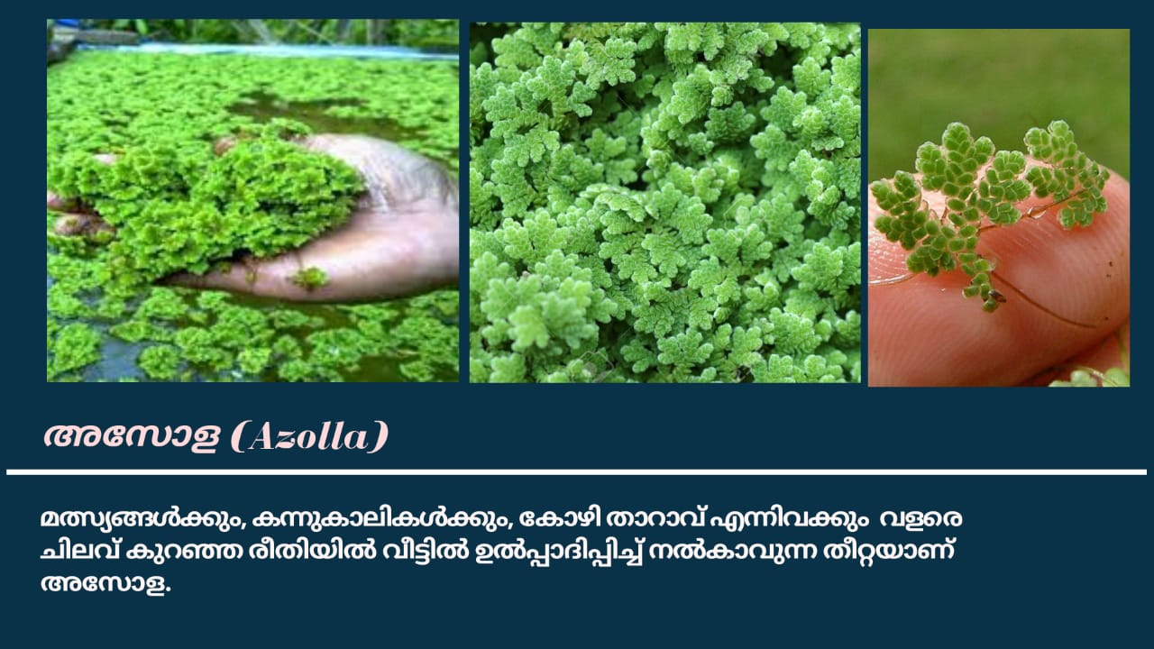 Azolla – അസോള (mosquito fern, duckweed fern, fairy moss, water fern)