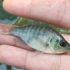Tilapia Fish Seed in Onyx Aqua Farm