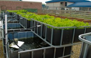 IBC Tank Grow bed for Aquaponics Fish farming