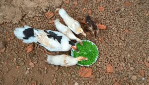 Azolla feeding to Ducks