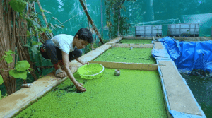 Azolla collecting for feed the fishes