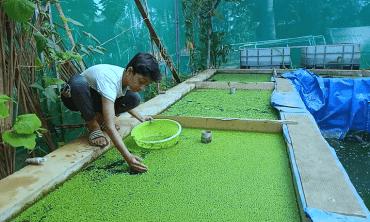 Fish and Azolla culture in an Aquaponics Unit
