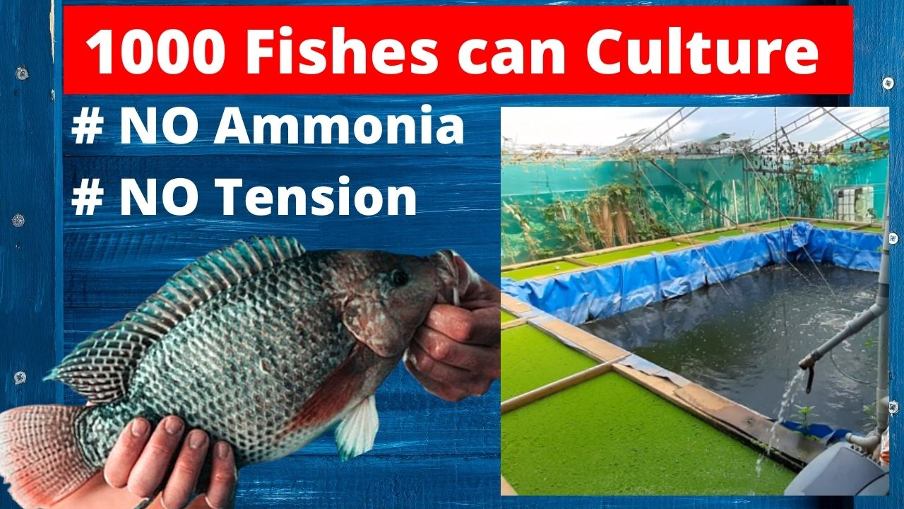 1000 Fishes can culture without any Tension
