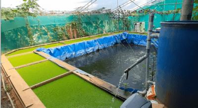 Fish And Azolla Farming