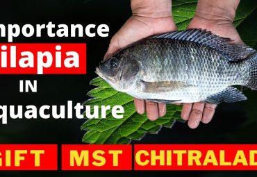 Importance of Tilapia Farming in Aquaculture