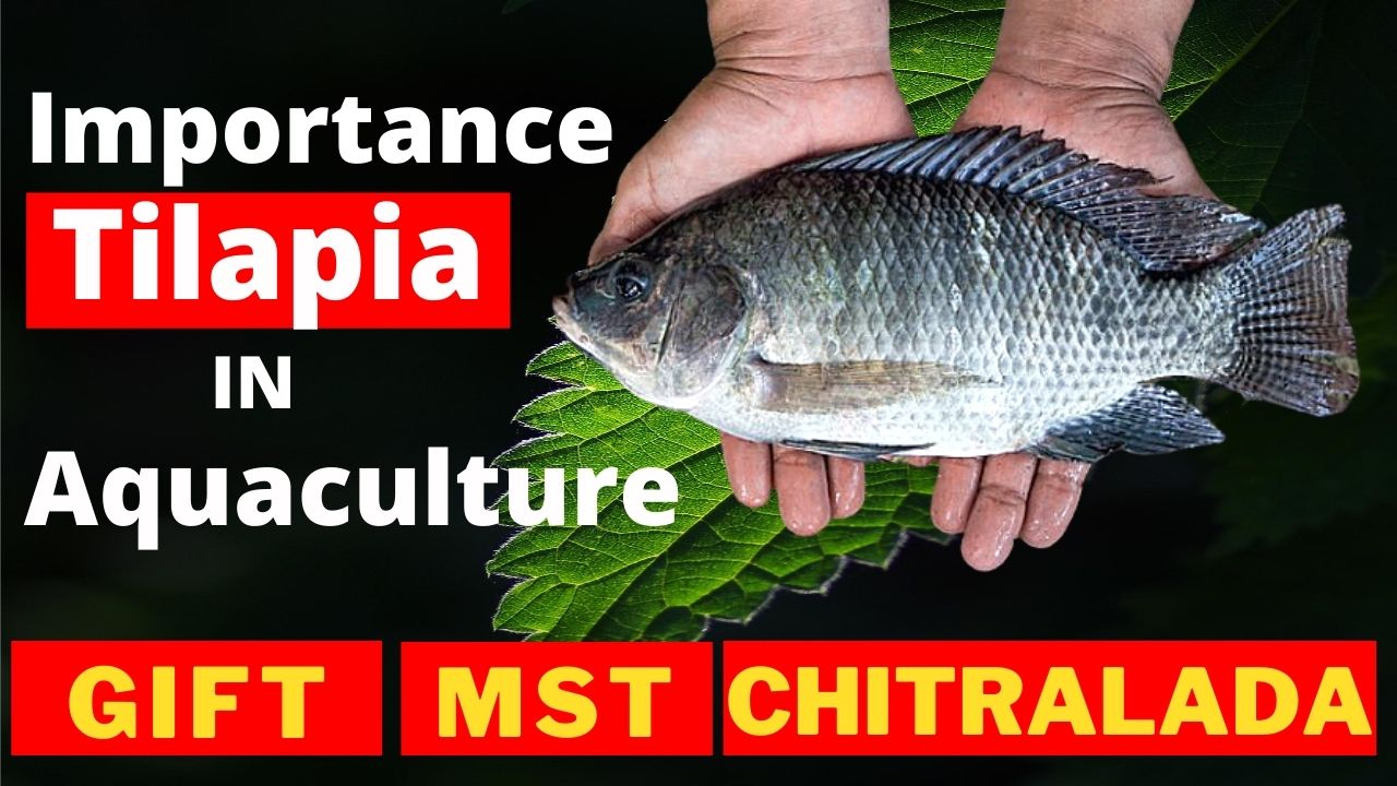 Importance of Tilapia Farming in Aquaculture