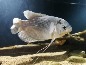 Black Giant Gourami