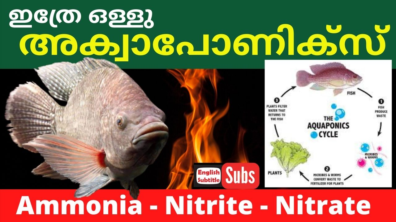 Nitrogen cycle in Aquaponics Fish Farming