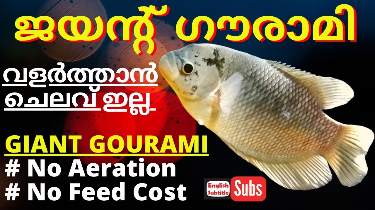 Giant Gourami Farming