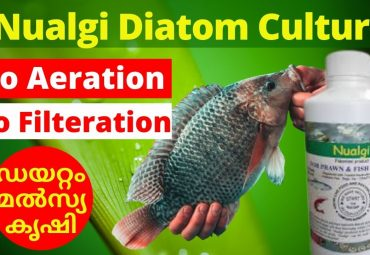 Diatom Culture Nualgi Fish Farming