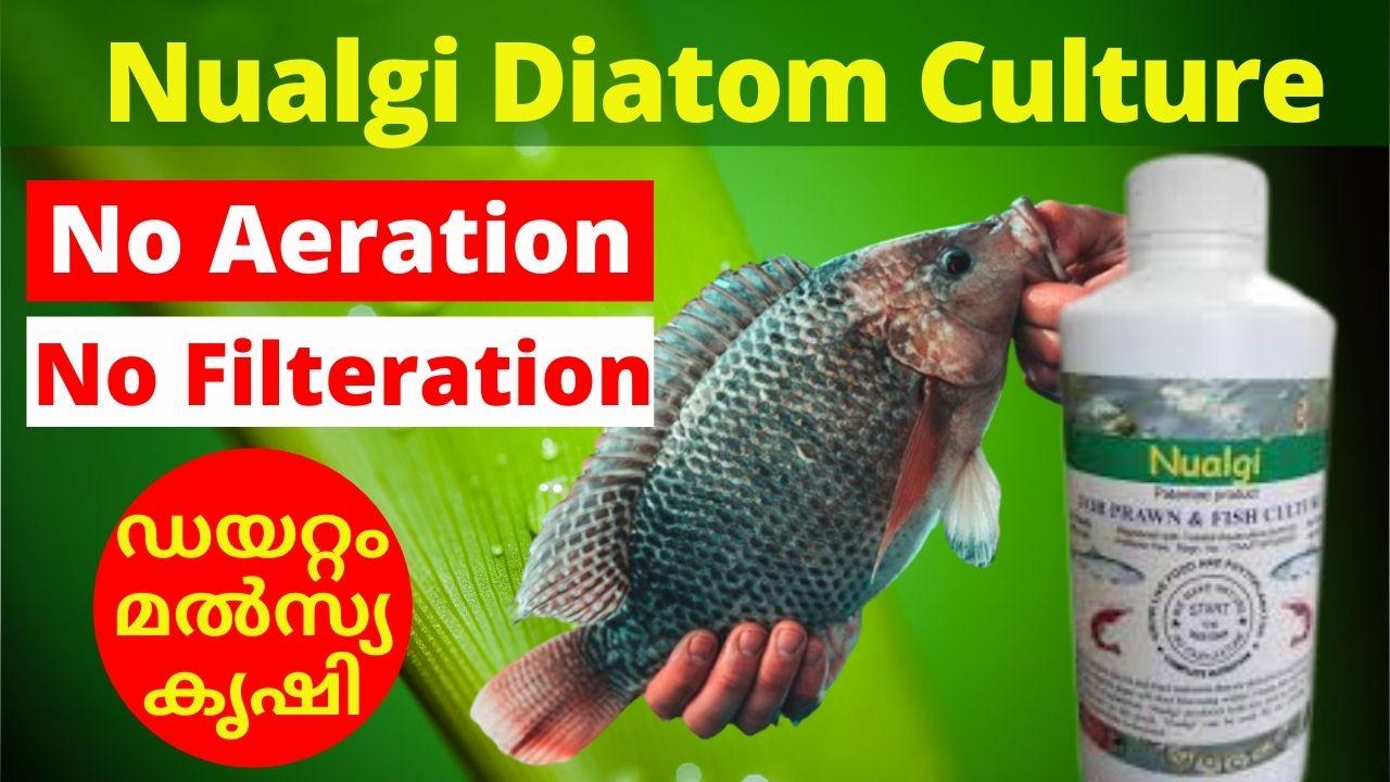 Diatom Culture Nualgi Fish Farming
